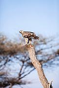 Tawny Eagle (Aquila rapax). Photographed in Tanzania