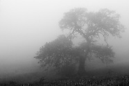 California Oaks in the Fog