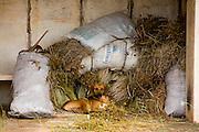 Diamantina_MG, Brasil...Cachorro em Diamantina, Minas Gerais...A dog in Diamantina, Minas Gerais...Foto: LEO DRUMOND / NITRO