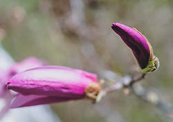THEMENBILD Magnolienknospen, aufgenommen am 18. April 2020, Kaprun, Österreich // Magnolia buds on 2020/04/18, Kaprun, Austria. EXPA Pictures © 2020, PhotoCredit: EXPA/ Stefanie Oberhauser