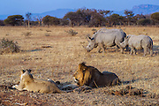 White rhinoceros (Ceratotherium simum) & lion (Panthera leo)<br /> Private Reserve, <br /> SOUTH AFRICA<br /> RANGE: Southern & East Africa<br /> ENDANGERED SPECIES
