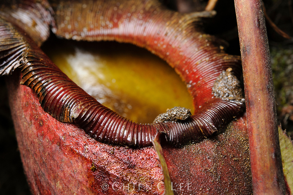 Scat of Mountain Treeshrew (Tupaia montana) on the peristome of Nepenthes rajah. This will be washed into the pitcher with rain where it becomes a vital source of nutrients for the plant. Sabah, Malaysia (Borneo).