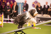 New York, NY - 8 February 2014. Poppet, a bearded collie, climbing the seesaw. After the seesaw tilts, the dogs must touch the contact zone at the bottom in order to qualify.