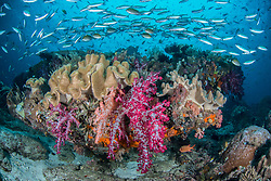 A school of Ruddy Fusiliers, Pterocaesio pisang, swarm above a coral bomme adorned with leather coral and Dendronepthya soft coral.  Dampier Strait, Raja Ampat, Ceram Sea, Indian Ocean