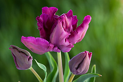 Tulipa 'Muriel'