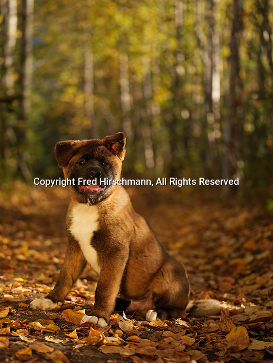 """Akita puppy, 12-week-old """"Roshi"""" photographed on the Reflections Lake Trail, Palmer Hay Flats State Game Area, Alaska and owned by Cynthia Vidal of Anchorage, Alaska."""