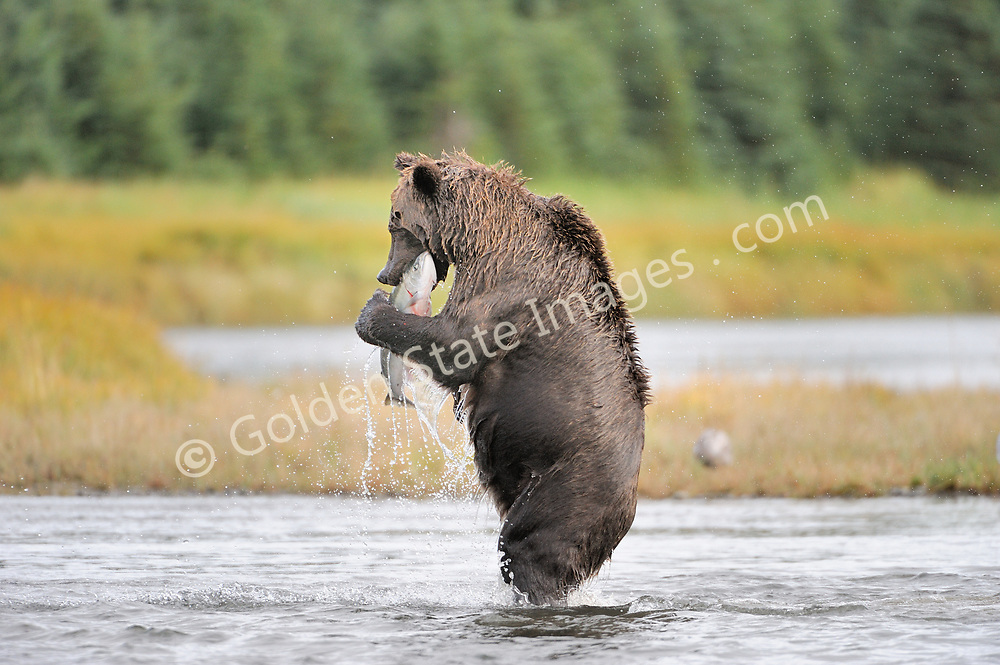 A large sow stands with her catch. This is a rare behavior as they normally pin the salmon with their paws then simply bite and carry it off in their mouth up the creek bank. <br /> <br /> Brown Bears and Grizzly Bears are the same species. In general Bears living within 50 miles of the coast are considered browns. Animals living further inland are considered Grizzlies.  <br /> <br /> Grizzlies are omnivores feeding on a variety of plants berries roots and grasses in addition to fish insects and small mammals. Salmon are a key part of their diet. Normally a solitary animal they will congregate along streams and rivers during Salmon runs. Weight to over 1200 pounds.    <br />  <br /> Range: Native to Asia Africa Europe and North America. Now extinct in much of their original range.    <br />   <br /> Species: Ursus arctos