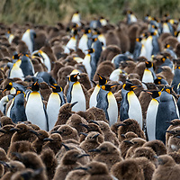 King penguin chicks are covered in brown downy feathers and are referred to as oakum boys. King penguins in a massive breeding colony at Gold Harbour on South Georgia Island.