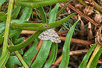 An American snout moth resting on a fern on West Tiger Mountain in Washington. These common moths are found across much of North America, but when they are found in more northern mountainous regions, the bold patterns tend to have less contrast and blend together rather than show distinct bands.