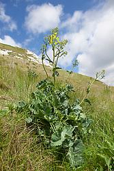 Wild Cabbage growing at Samphire Hoe, Kent. Brassica oleracea
