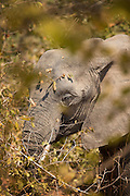 African Elephant, Luangwa River Valley, Zambia, Africa