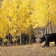 Black Bear, (Ursus americanus) Adult among golden aspens in southern Colorado. Fall. Captive Animal.