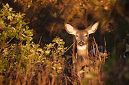 Port Jervis, N.Y. - A white-tailed deer eats leaves in the early-morning light on Point Peter on Oct. 14, 2006.
