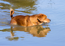 A dog swim in the pond