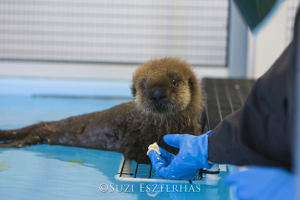 Southern Sea Otter<br /> Enhydra lutris<br /> 6 week old pup in rehabilitation offered shellfish by aquarist<br /> Monterey Bay Aquarium, Monterey, CA