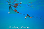 Pacific whitespotted eagle rays or Pacific eagle ray, Aetobatus laticeps, courtship, female (left) followed by smaller male, Black Rock, West Maui, Hawaii, USA ( Central Pacific Ocean )