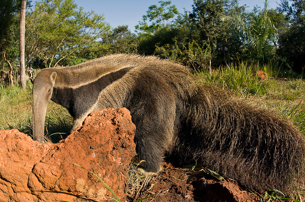 Captive Giant Anteater (Myrmecophaga tridactyla) in Mato Grosso do Sul. This species is considered threatened due to habitat destruction.