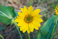 """Close-up of the flowerhead of the arrowleaf balsamroot. It is often thought the entire sunflower-like head is the flower, but what are often mistaken for the long yellow petals are actually the ray florets, and the actual flowers are the dozens of tiny """"mini-flowers"""" called disk florets, and these when fertilized are what produce the seeds. This perfectly-shaped arrowleaf balsamroot was photographed on a beautiful spring day just outside of Yakima, Washington."""