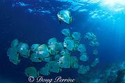 golden batfish, Platax boersii ,<br /> Sipadan, Borneo, Malaysia,<br /> ( Celebes Sea )