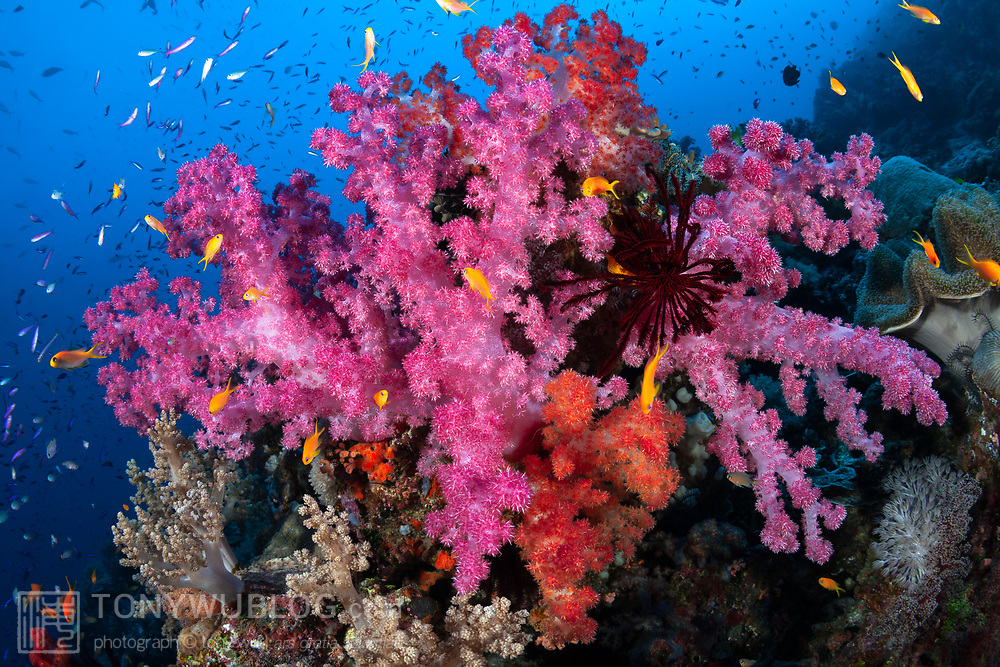 Spectacular pink and orange soft corals in full bloom, surrounded by multicoloured fairy basslets