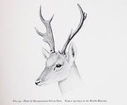 Head of Mesopotamian Fallow Deer [Persian fallow deer as a subspecies (Dama dama mesopotamica), from the book ' The deer of all lands : a history of the family Cervidae, living and extinct ' by Richard Lydekker, Published in London by Ward 1898