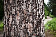 bark of a pine tree in the Wahner Heath, Troisdorf, North Rhine-Westphalia, Germany.<br /> <br /> Rinde einer Kiefer in der Wahner Heide, Troisdorf, Nordrhein-Westfalen, Deutschland.