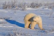 Polar Bear (Ursa maritimus) on sub-arctic Hudson Bay in evening light<br />Churchill<br />Manitoba<br />Canada