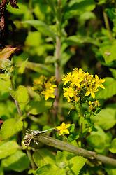 Kantig hertshooi, Hypericum maculatum subsp. obtusiusculum