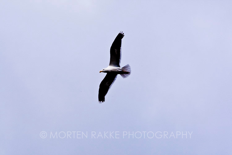 Norway, seagull flying in sky, low angle view