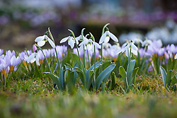 Snowdrops and crocus growing in the grass at Old Church Cottage. Galanthus elwesii strain with Crocus sieberi subsp. sublimis 'Tricolor' AGM, Three-coloured Sieber's crocus