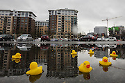 A flock of yellow rubber ducks floats in a parking-lot puddle in South Lake Union.<br />