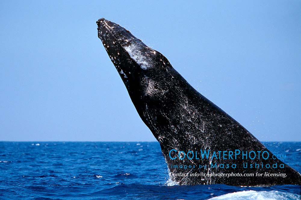 humpback whale, head lunge - jaw crap, chin slap in competitive group, Megaptera novaeangliae, Hawaii, Pacific Ocean