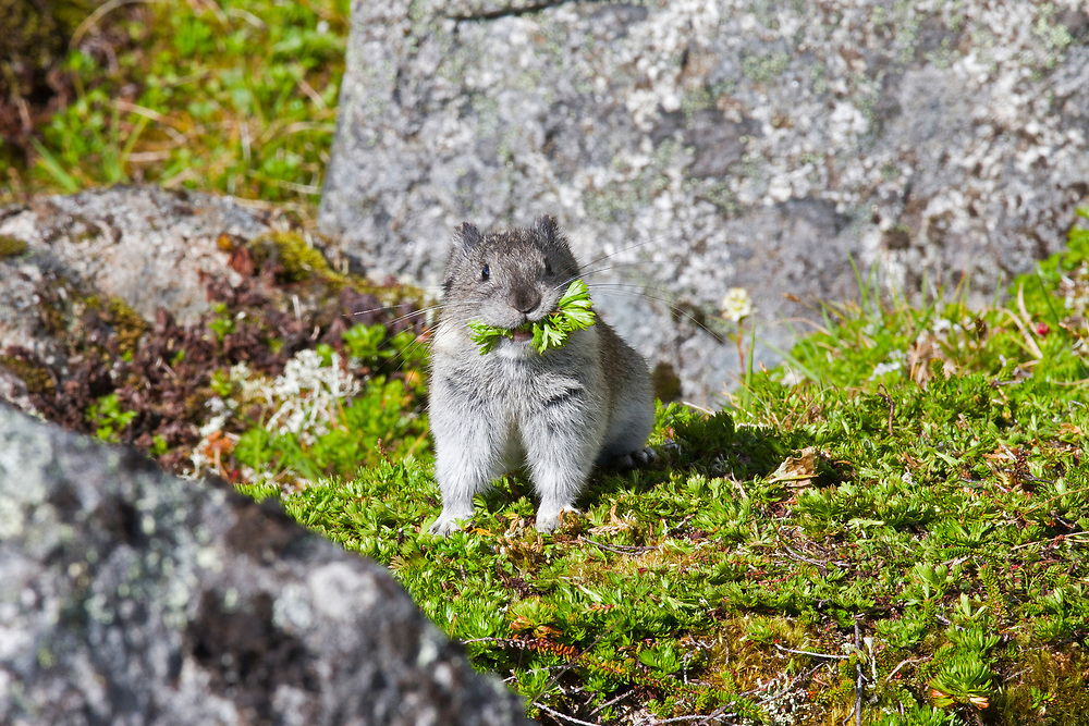 Alaska.  Single Collared Pika (Ochotona collaris) with a mouthful of freshly harvested vegetation in August gathered for winter use in typical rockslide habitat in the Talkeetna Mountains near Hatcher Pass.