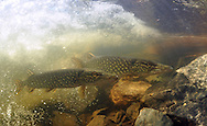 Pair of the Northern Pike<br /> <br /> Paul Vecsei/Engbretson Underwater Photo