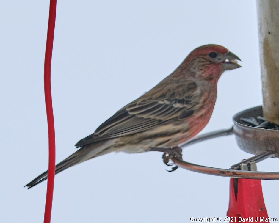 House Finch (Haemorhous mexicanus). Image taken with a Fuji X-T3 camera and 200 mm f/2 OIS lens with a 1.4x teleconverter.