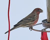 House Finch (Haemorhous mexicanus). Image taken with a Fuji X-T3 camera and 200 mm f/2 OIS lens with a 1.4x teleconverter.