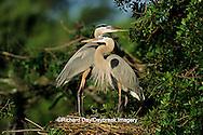 00684-01104 Great Blue Herons (Ardea herodias) at nest    FL