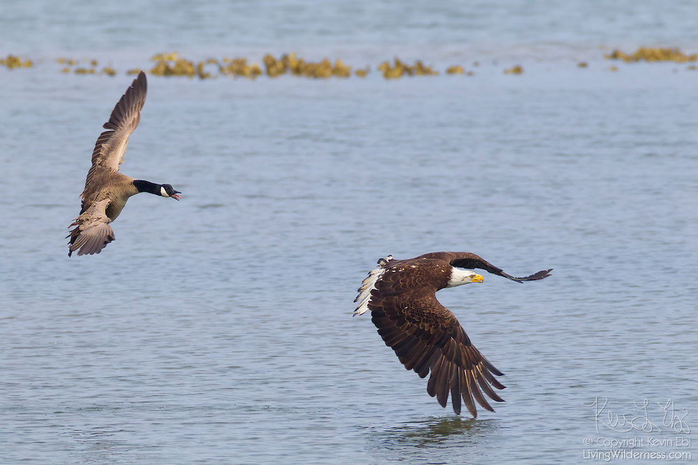 A Canada goose (Branta canadensis) chases a bald eagle (Haliaeetus leucocephalus) that attempted to hunt near it in the Hood Canal near Seabeck, Washington. Bald eagles congregate in the area in the early summer to feast on migrating midshipman fish.