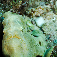 Commerson's Frogfish, Antennarius commerson, (Lacepède, 1798), Maui Hawaii