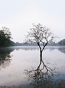 A tree growing in a small lake near the Angkor temples, Siem Reap Province, Cambodia