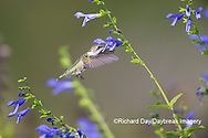 01162-15204 Ruby-throated Hummingbird (Archilochus colubris) at Blue Ensign Salvia (Salvia guaranitica ' Blue Ensign') in Marion County, IL