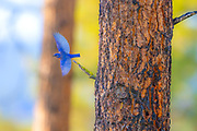 A western bluebird (Sialia mexicana) takes flight from its perch in the Blue Mountain Forest, part of the Wallowa-Whitman National Forest in Oregon.