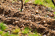 Young vines in the vineyard on the typical sandy pebbly (galets) soil in Crozes Hermitage. A detail of the soil.  Domaine du Colombier, Crozes-Hermitage, Mercurol, Drome Drôme, France Europe