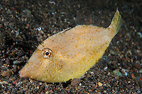 A filefish lies on the seafloor, resting<br /> <br /> Shot in Indonesia
