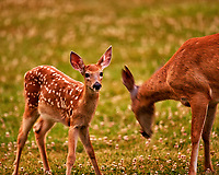 Fawn with Spots and Doe. Image taken with a Nikon D3x camera and 600 mm f/4 VR lens
