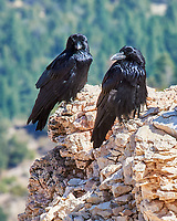 Common Raven (Corvus corax). Bryce Canyon National Park, Utah. Image taken with a Nikon D300 camera and 80-400 mm VR lens.