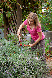 Cutting back lavender that has finished flowering with hand shears