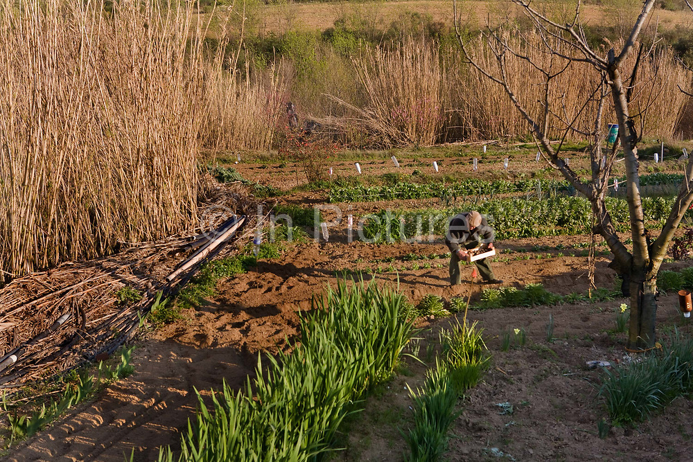 Man planting his onions on a French small holding, 27th August 2007, Lagrasse, France.