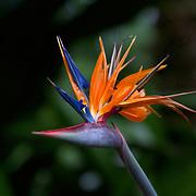 A giant bird of paradise plant. Photo by Adel B. Korkor.