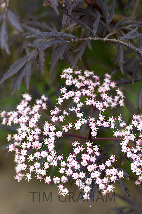 Summer-flowering Acer tree flowering with pink florets in garden in England, UK